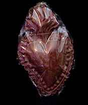 Belgian chocolate sacred heart